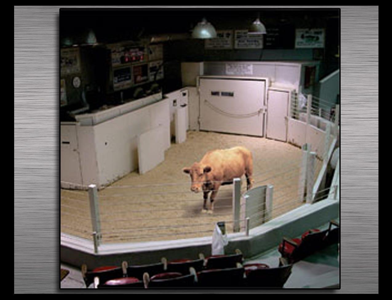 livestock-ring1